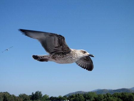 young seagull in flight near Thassos island, Greece photo