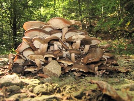 plentiful: delicious and plentiful lyophyllum loricatum on the forest road Stock Photo