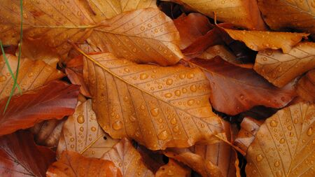 Fallen autumn leaves with dewdrops   photo
