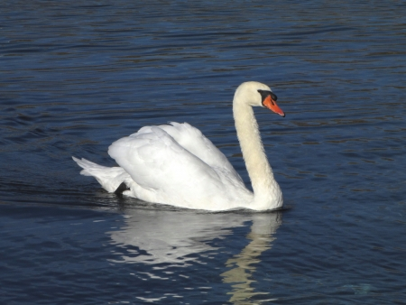 White swan on blue water surface  photo