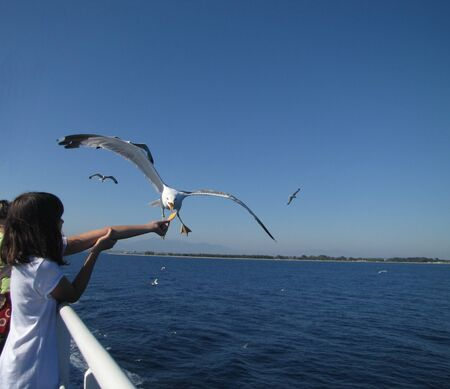 Seagull feeding - very friendly seagull takes food from child s hand Stock Photo - 17410942