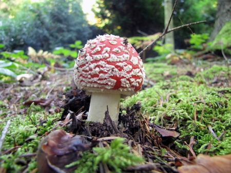 mycology: Young Fly agaric mushroom in natural habitat