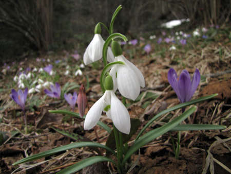 Snowdrops, saffron and other spring flowers on the meadow photo