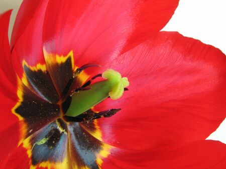 Macro shot on stamens and pestle of of blossoming red tulip                           photo