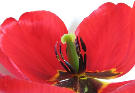 Macro shot of red tulip pistil, stamens and petals over white background                             photo