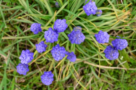 Grape Hyacinth or Viper bow flowers on bokeh green grass background, view from above photo