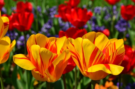 Park decoration, yellow and red tulips on green surface photo
