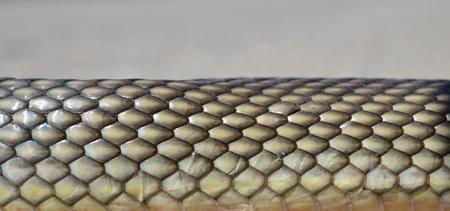 esculapio: Esculapio no venenosas Foto de archivo