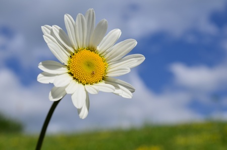 Macro shot of white Daisy flower against soft bokeh of green meadow and blue sky with white, scattered clouds photo