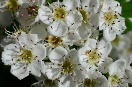 laevigata: Close up shot - Howthorn flowers background, full frame
