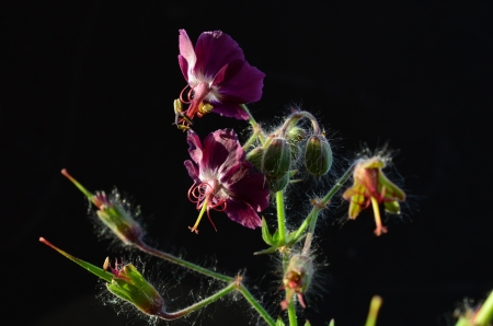 Curative Geranium flower in sunlight on black background photo