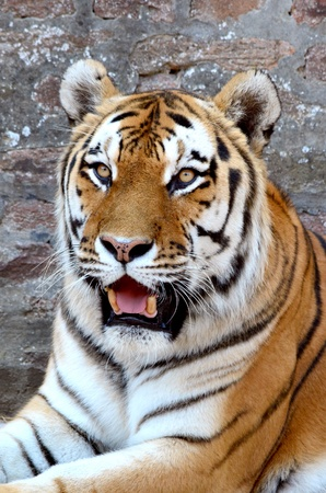 The face of a tiger on a grunge brick wall background, vertical orientation photo