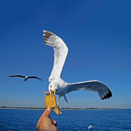Flying seagull takes cookie from man photo