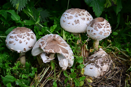 unwholesome: Macrolepiota Venenata, Scandinavian native mushroom, similar to Parasol mushroom (Macrolepiota Procera and Macrolepiota Rhacodes), but toxic and inedible