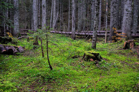 Deep, old fir forest with some mossy stumps and lying trees photo