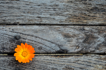 Marigold on empty, grunge wooden table ready for text or product montage display photo