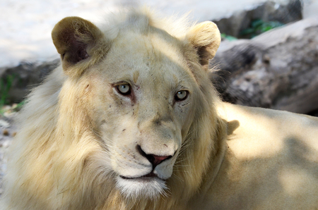Portrait of young albino lion, horizontal orientation photo