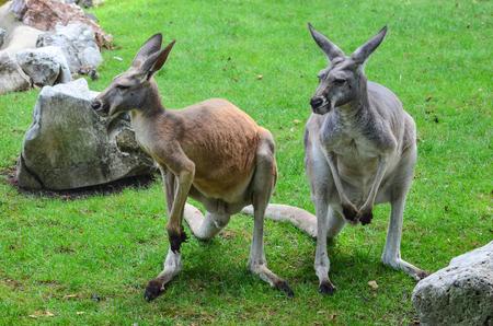 Two kangaroos on green field, among rocks photo