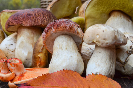 Close up view of a  bunch of autumn edible mushrooms, mostly Boletus Edulis and a few Lactarius Deliciosus on a wooden surface of an old oak table  photo