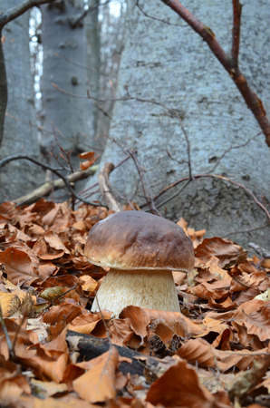The first class edible Boletus Edulis mushroom in autumn beech forest  photo