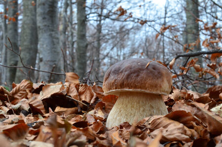 Close up view of excellent edible  Boletus mushroom among fallen leaves in late autumn beech forest photo