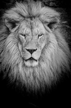 animal eye: Primo piano sul pericoloso vecchio leone Archivio Fotografico
