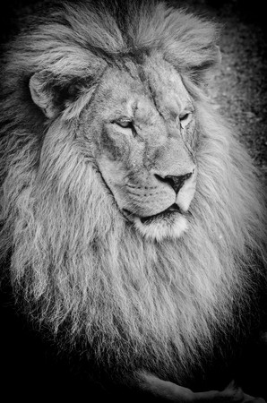 Close up view on old lions portrait, black and white photo