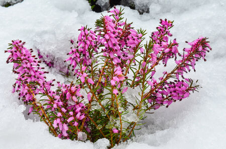 erica: Early spring purple flowers of Common Heather or Calluna vulgaris, surprised by late snow Stock Photo
