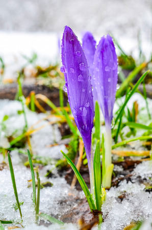 The first early spring flowers - three violet Crocuses in late snow, closed and covered by water drops photo