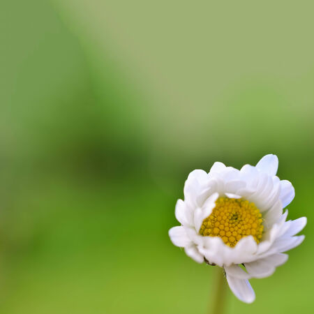 Bokeh background - blurred white Daisy flower on green bokeh background photo
