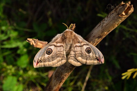 cousin: The female Saturnia pavoniella, a southern cousin of the Emperor moth on a dry twig Stock Photo