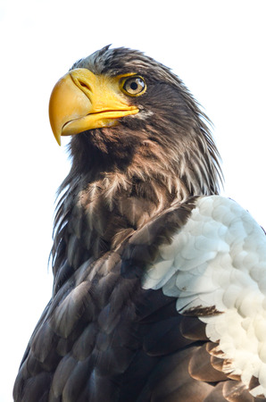 Close up view of Eastern Imperial Eagle or Aquila heliaca photo