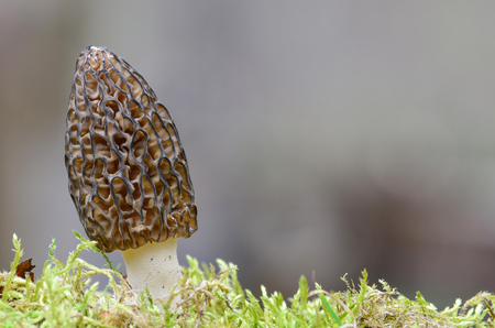 Morchella Conica or Black Morel Mushroom in a moss, against gray bokeh background photo