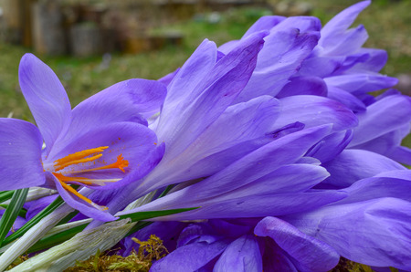 safran: Saffron or Crocus sativus, view on spicy stamens and pestle in a heap of crocus flowers waiting in process of spice production Stock Photo