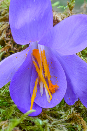 Spicy Saffron stamens and pestle in a single Saffron or Crocus sativus flower on a green moss photo