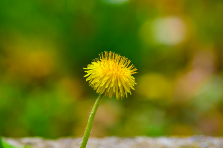 Yellow dandelion or Taraxacum officinale close up view against green natural bokeh background photo
