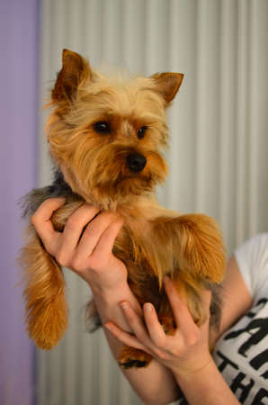 Cute little yorkshire terrier puppy in girl photo