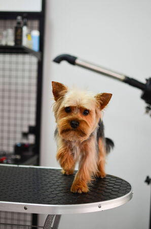 grooming: Cute little yorkshire terrier puppy waiting for grooming