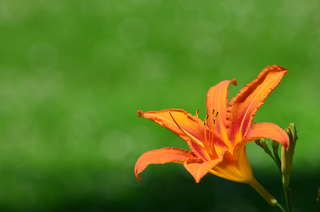 burgeon: Orange lily flower or Lilium distichumand and burgeon against green bokeh