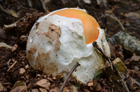 Very young, still egg-shaped, edible, delicious and nutritive  Amanita caesarea or Caesars mushroom in natural habitat photo