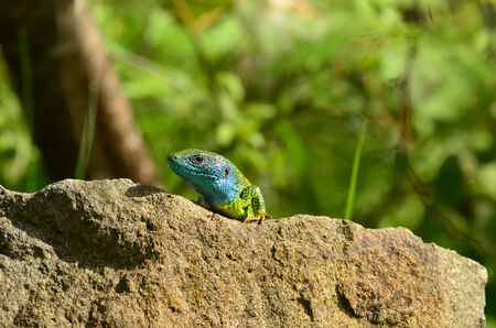 viridis: European Green lizard or Lacerta viridis, male with charateristic colored head and neck in mating season Stock Photo