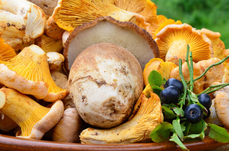 Edible mushrooms - Chanterelles, Cep, Blusher and Puffball and some blueberries, close up view photo