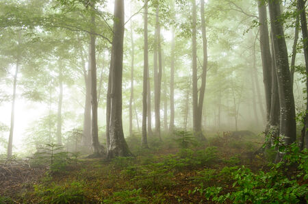 Beech and fir forest in the evening, after heavy summer rain, foggy and mysterious photo