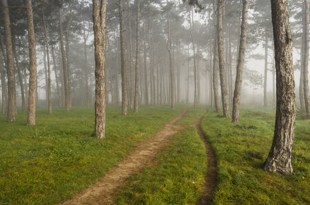 Footpaths through foggy pine forest early in the morning in golden sunlight photo