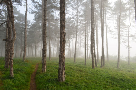 One narrow footpath through foggy pine fores, early in the morning photo