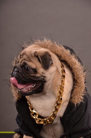 fur hood: Pug dog wearing black jacket with fur hood and big golden necklace, gangster look, profile, studio shot