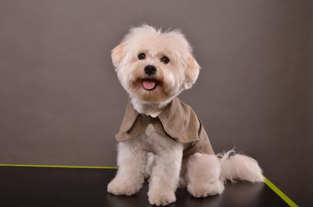 coatee: Cute Maltese puppy wearing elegant grey coatee, studio shot Stock Photo