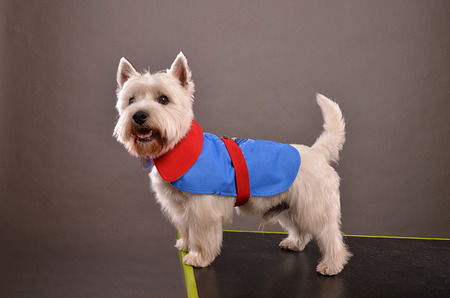 westie: Young Westie dog or West Highland Terrier, standing on table in studio, posing in red and blue jacket, gray background