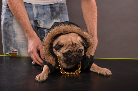 shutting: Young boy holding Pug dog in black jacket and golden necklace,  preparation for shutting in studi