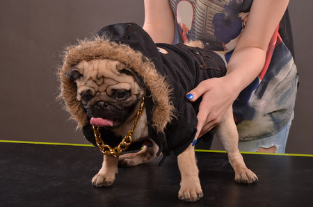 shutting: Young girl holding Pug dog in black jacket and golden necklace,  preparation for shutting in studio
